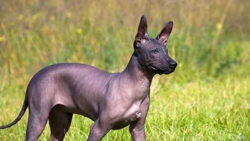 Интересные факты о ксолоитцкуинтли – старейшей породе собак в мире