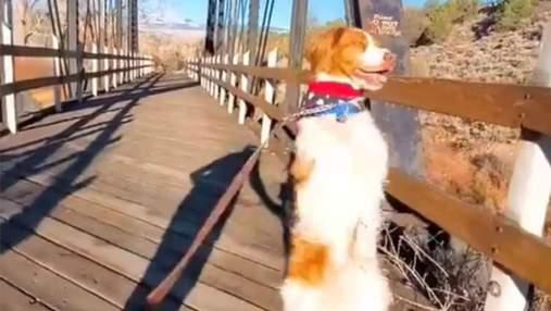 Зірка тіктоку ходить на 2 лапах: після трагедії пес зумів стати популярним