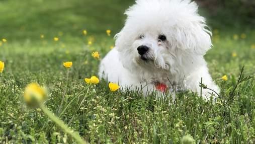 Бишон фризе: особенности ухода за декоративной породой собак