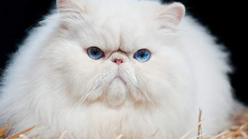 Найдружелюбніші породи кішок: чи є серед них ваша