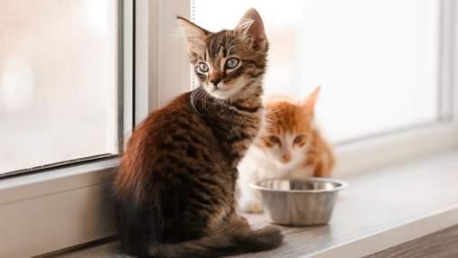 Як годувати кошеня: поради для господарів