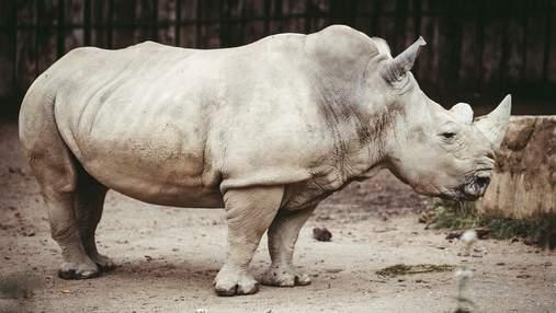 День захисту носорога: кого бояться ці тварини і якого виду носорогів більше немає на світі