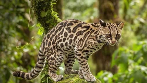 Кошки маргай: редкий вид диких животных, которых можно держать дома