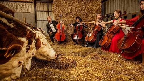 У Данії влаштовують музичні концерти для корів: цікаві фото