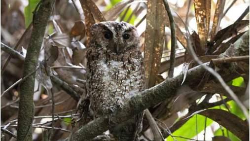 В Малайзии обнаружили сову, которую в природе не видели более 100 лет