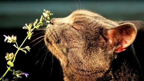 Чому коти люблять валер'янку і чому їм краще її не давати