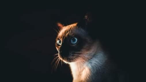 Сиамский кот: история королевской породы, характер и стандарт внешности