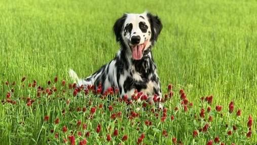 Далматин и голден-ретривер одновременно: необычный пес стал звездой тиктока – видео