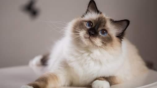 Самые спокойные породы кошек: какую выбрать для семьи