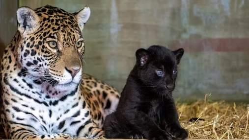 Редкий черный ягуар родился в Великобритании: фото