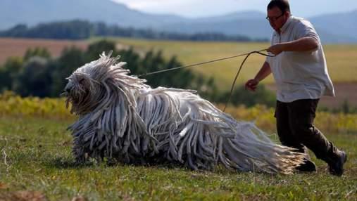 Порода комондор: собаки с удивительной шерстью, что напоминает швабру или дреды