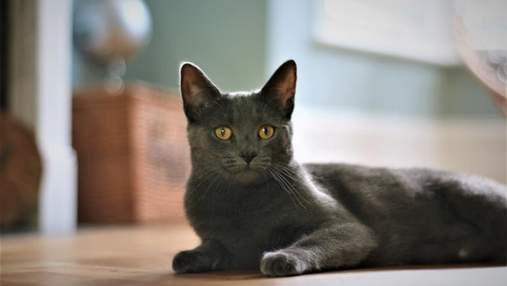 Мальтийские кошки: чем особенные и почему их легко узнать