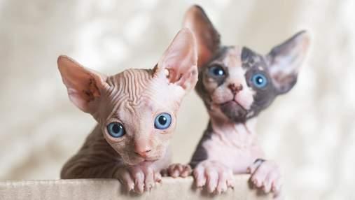 5 пород кошек, у которых действительно большие уши