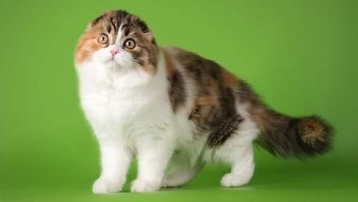 Вислоухие и с длинной шерстью: коты породы хайленд-фолд очаровывают своей красотой