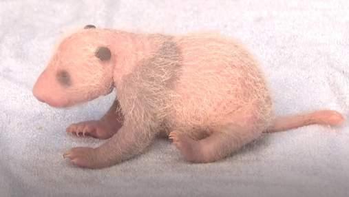 В Малайзии гигантская панда Лян Лян родила третьего детеныша и он уже удвоил свой вес