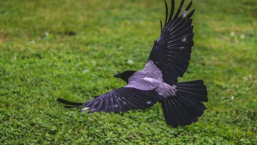 Вороны нападают на людей: орнитологиня назвала причины