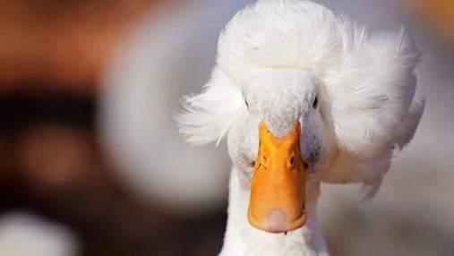 Качка прославилася в інтернеті через свою оригінальну зачіску: фото