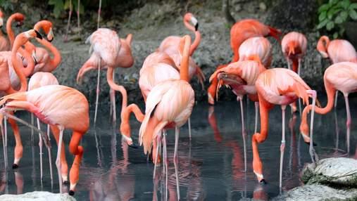 Едят головой вниз: 9 интересных фактов о фламинго, которые вы могли не знать