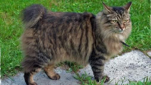 Кот с подрезанными хвостом: как возникла порода американский бобтейл и чем особенная