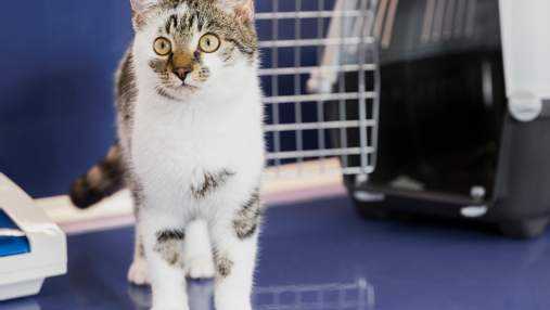 Як підготуватися до вакцинації кота і чому її обов'язково робити: пояснює ветеринарка