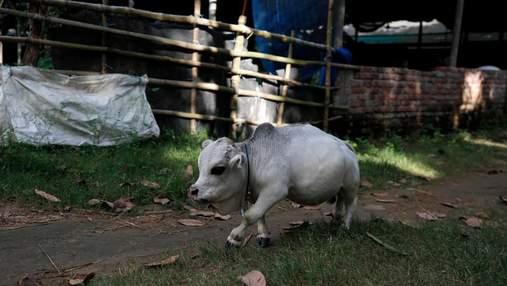 Завбільшки з собаку: карликова корова з Бангладеш претендує на статус найменшої у світі