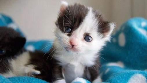 Схоже на панду: незвичайне кошеня врятували в Іспанії – фото