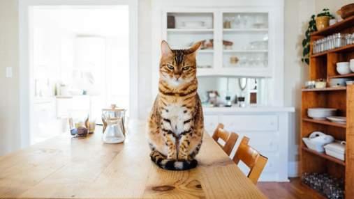 У чому полягає правильне харчування і збалансований раціон кішки