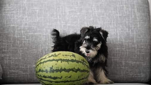 Чи можна собакам їсти кавун: що кажуть ветеринари