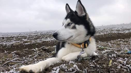 8 вражаючих фактів про сибірських хаскі