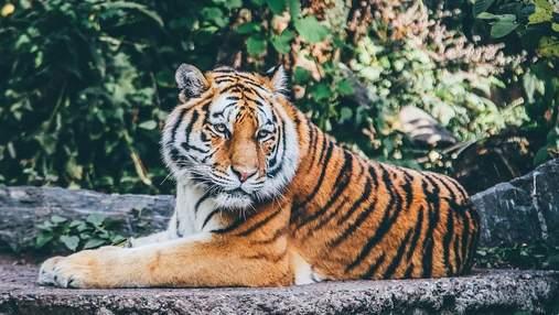 Міжнародний день тигра: чому вони під загрозою зникнення та як це змінюють
