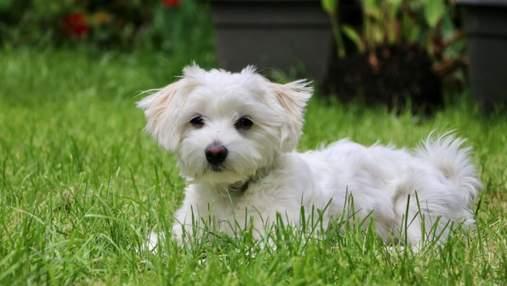 Гіпоалергенні собаки: 10 оптимальних порід