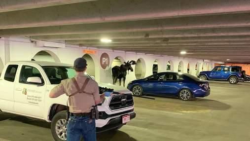 Відмовлявся йти ще кудись: чому лось в Колорадо регулярно заходив у гараж й лизав стіни
