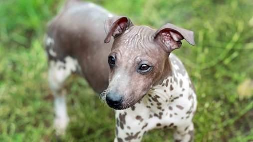 Песики-сфинксы: породы собак, которые не имеют шерсти