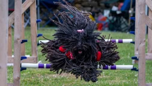 Фото дня: похожие на швабры собаки соревнуются за звание самой быстрой