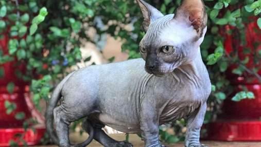 Коты с короткими лапками: 6 родственников манчкина
