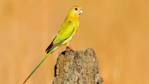 Мы теряем этих птиц: борьба за спасение золотоплечого попугая