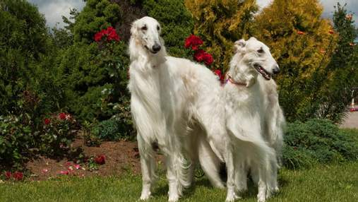 Звезда тиктока: очень высокая собака собирает миллионы просмотров