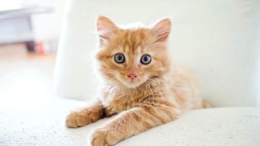 """День рудих котів: цікаві факти про муркотунів """"апельсинового"""" кольору"""