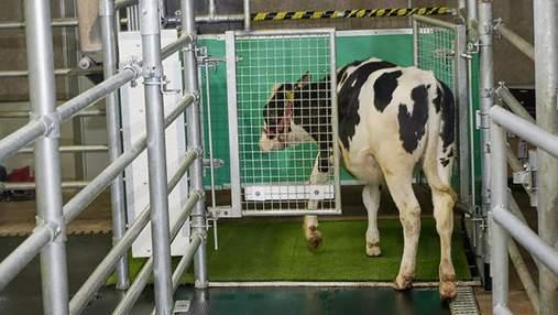 В Германии ученые научили коров пользоваться уборной