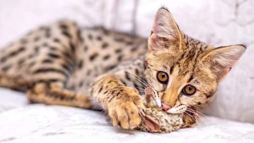 Дочь дикого сервала: главное о породе кошек саванна