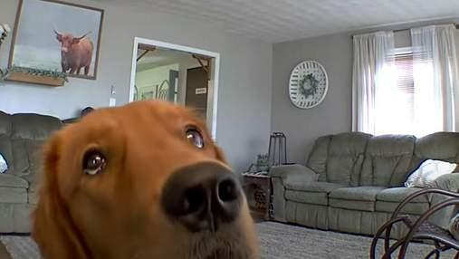 Золотистый ретривер увидел скрытую камеру: забавная реакция собаки покоряет сеть