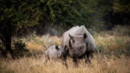 Всесвітній день носорога: історії гігантів, які мають лише одного ворога