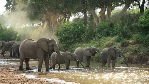 """Спілкуються вібраціями та """"ніколи не забувають"""": неочікувані факти про слонів у день їх захисту"""