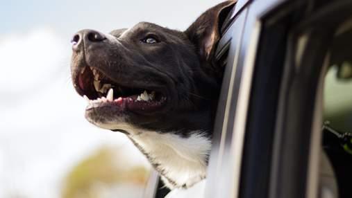 Вчені розповіли, чому насправді собаки люблять висуватись у вікно авто