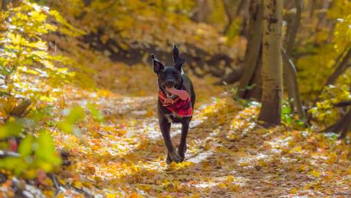 Чому собакам шкідливо гратися в осінньому листі: важливі причини