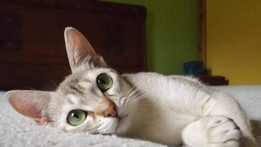 Рідкісні породи котів, які чудово підійдуть для дому: 5 унікальних тварин