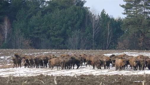 Помощь краснокнижным зубрам на Виннитчине: как зимой будут спасать животных