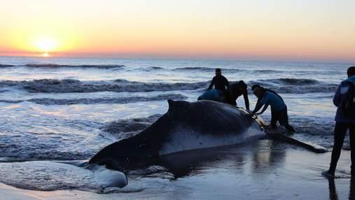 В Аргентине спасли двух горбатых китов: невероятные фото и видео