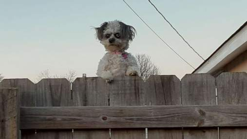 Собачка, которая выглядывает из-за забора, перепугала людей и стала мемом