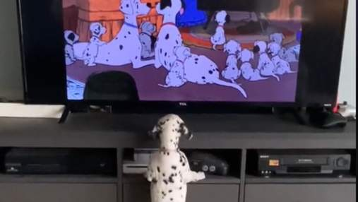 102 далматинца: пятнистый щенок растрогал сеть, смотря мультик
